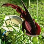 Dragon Arum (Dracunculus Vulgaris)